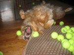 Jim Miller's Dog Sasha Tennis OD  Great Picture, Jim!