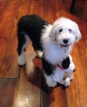 Janie's new dog-Old English Sheepdog named 'Friday'. 4 months old.  I'm now officially a Crazy Old Dog Lady