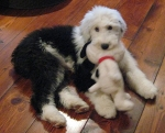 'Friday' Janie's old English Sheepdog pup